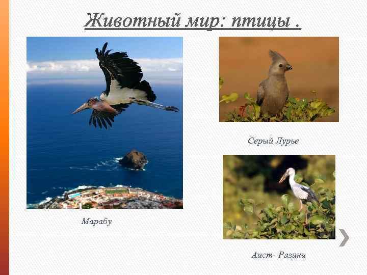 Животный мир: птицы. Серый Лурье Марабу Аист- Разини