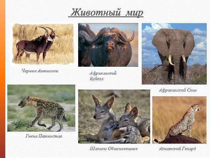 Животный мир Черные Антилопы Африканский Буйвол Африканский Слон Гиена Пятнистая Шакалы Обыкновенные Азиатский Гепард