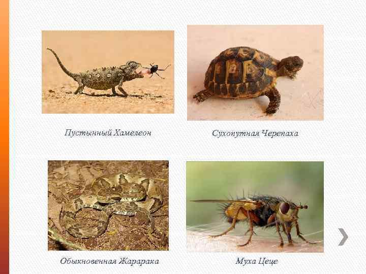 Пустынный Хамелеон Сухопутная Черепаха Обыкновенная Жарарака Муха Цеце