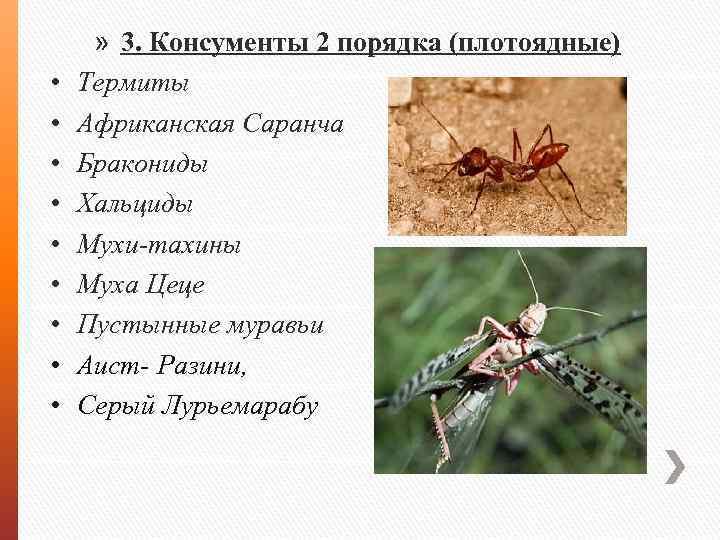 • • • » 3. Консументы 2 порядка (плотоядные) Термиты Африканская Саранча Бракониды