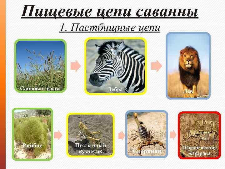 Пищевые цепи саванны 1. Пастбищные цепи Слоновая трава Ройбос Зебра Пустынный кузнечик Лев Скорпион