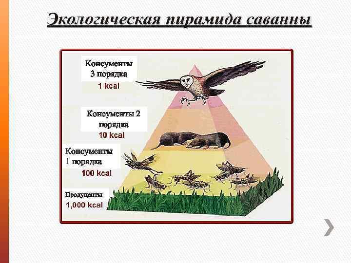 Экологическая пирамида саванны Консументы 3 порядка Консументы 2 порядка Консументы 1 порядка Продуценты