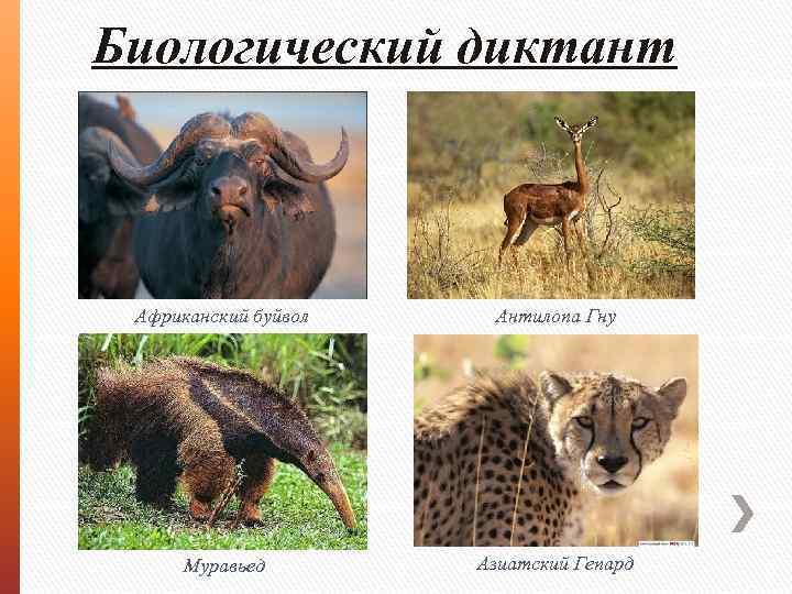 Биологический диктант Африканский буйвол Антилопа Гну Муравьед Азиатский Гепард