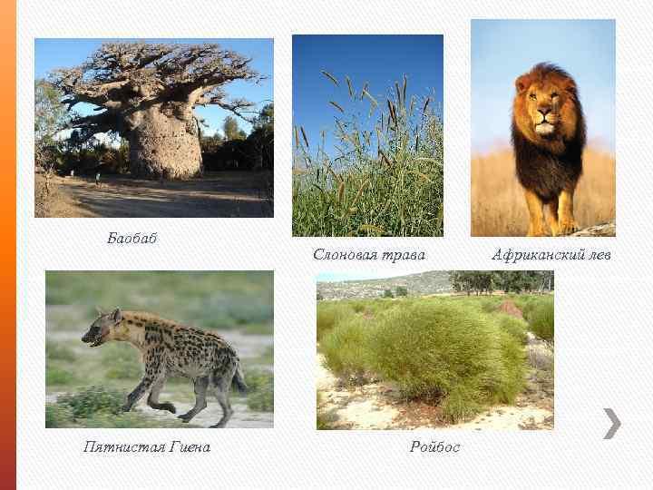 Баобаб Пятнистая Гиена Слоновая трава Ройбос Африканский лев