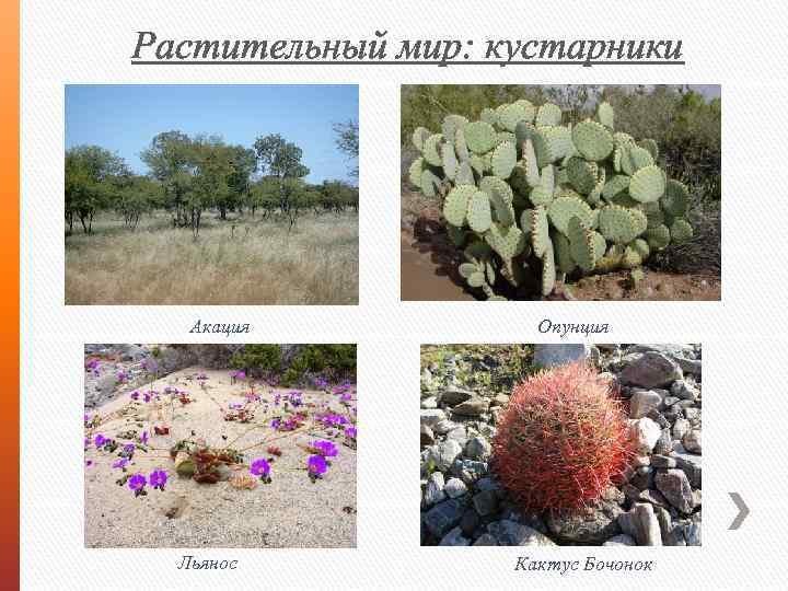 Растительный мир: кустарники Акация Льянос Опунция Кактус Бочонок