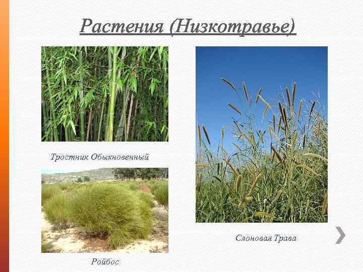 Растения (Низкотравье) Тростник Обыкновенный Слоновая Трава Ройбос