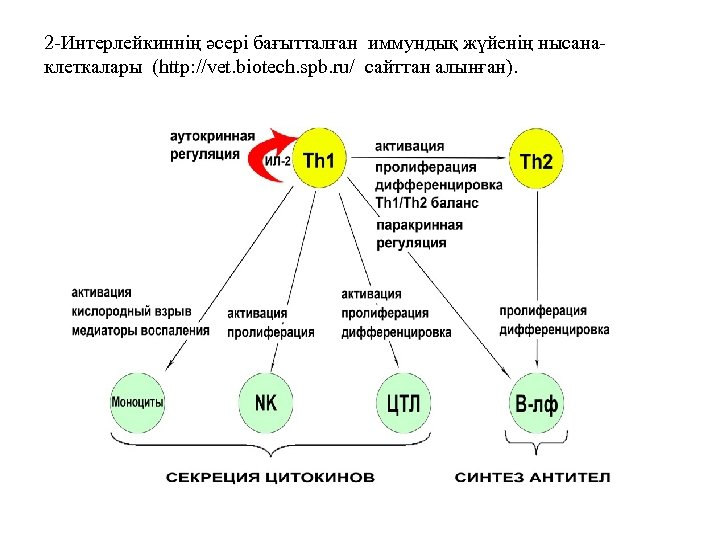 2 -Интерлейкиннің әсері бағытталған иммундық жүйенің нысанаклеткалары (http: //vet. biotech. spb. ru/ сайттан алынған).