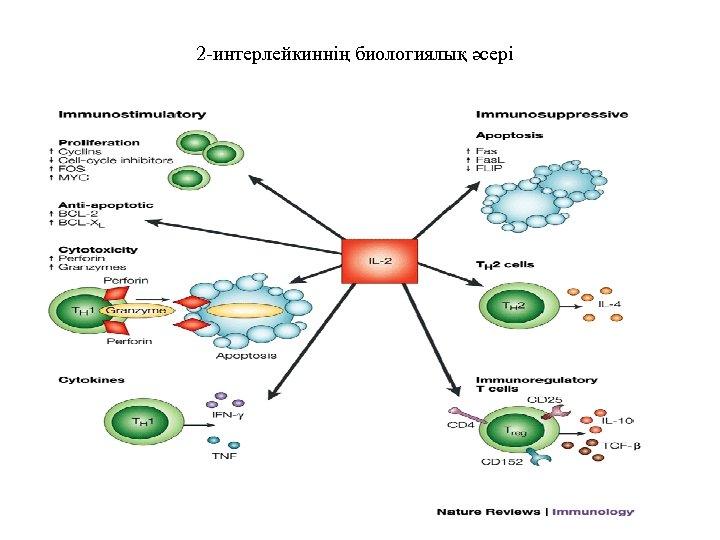 2 -интерлейкиннің биологиялық әсері