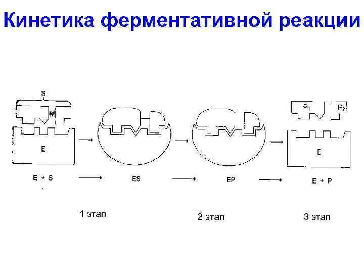 Кинетика ферментативной реакции 1 этап 2 этап 3 этап