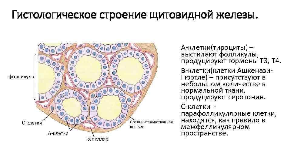 Гистологическое строение щитовидной железы. фолликул Соединительнотканная капсула С-клетки А-клетки капилляр A-клетки(тироциты) – выстилают фолликулы,