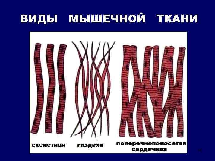 ВИДЫ МЫШЕЧНОЙ ТКАНИ 16