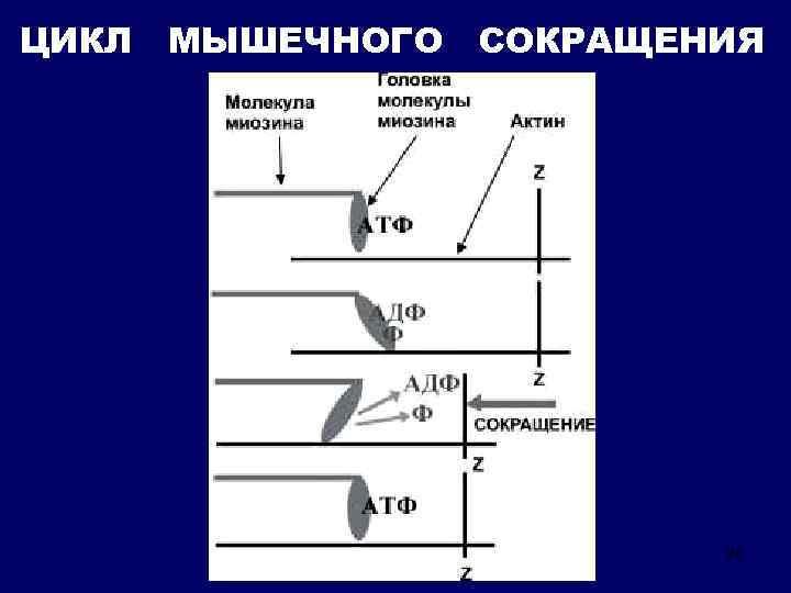 ЦИКЛ МЫШЕЧНОГО СОКРАЩЕНИЯ 26