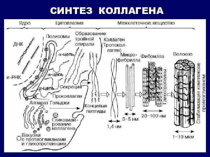 СИНТЕЗ КОЛЛАГЕНА