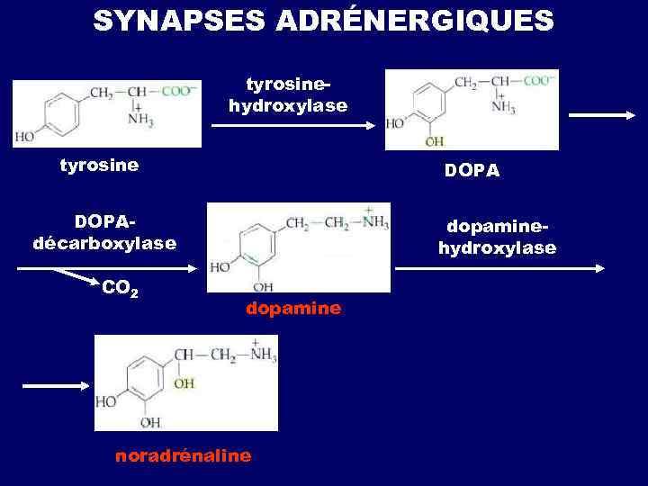 SYNAPSES ADRÉNERGIQUES tyrosinehydroxylase tyrosine DOPAdécarboxylase СО 2 dopaminehydroxylase dopamine noradrénaline
