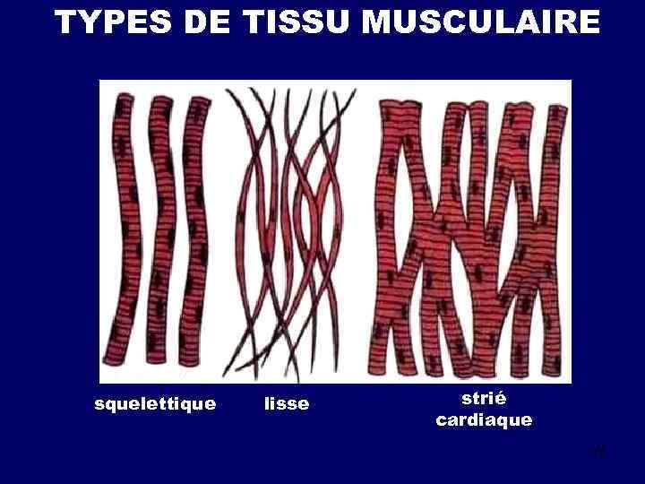 TYPES DE TISSU MUSCULAIRE squelettique lisse strié cardiaque 15