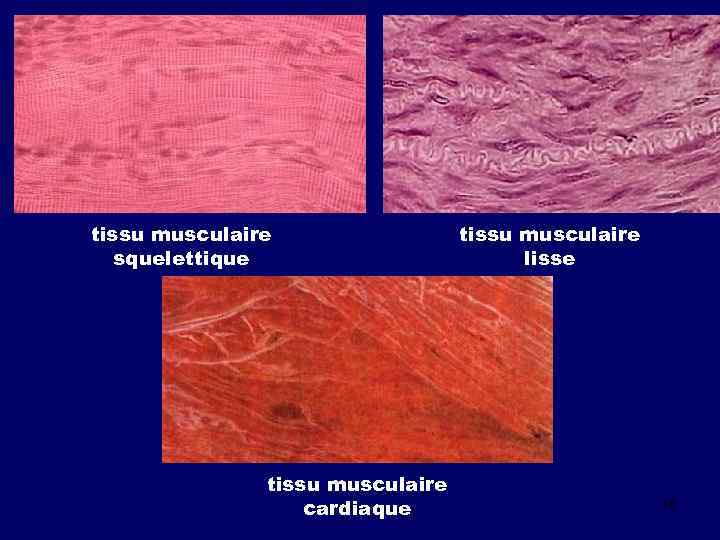tissu musculaire squelettique tissu musculaire cardiaque tissu musculaire lisse 16