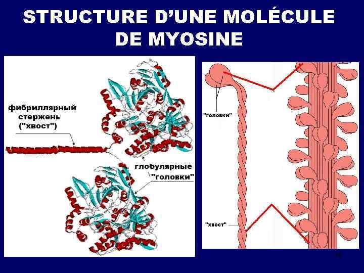 STRUCTURE D'UNE MOLÉCULE DE MYOSINE 19
