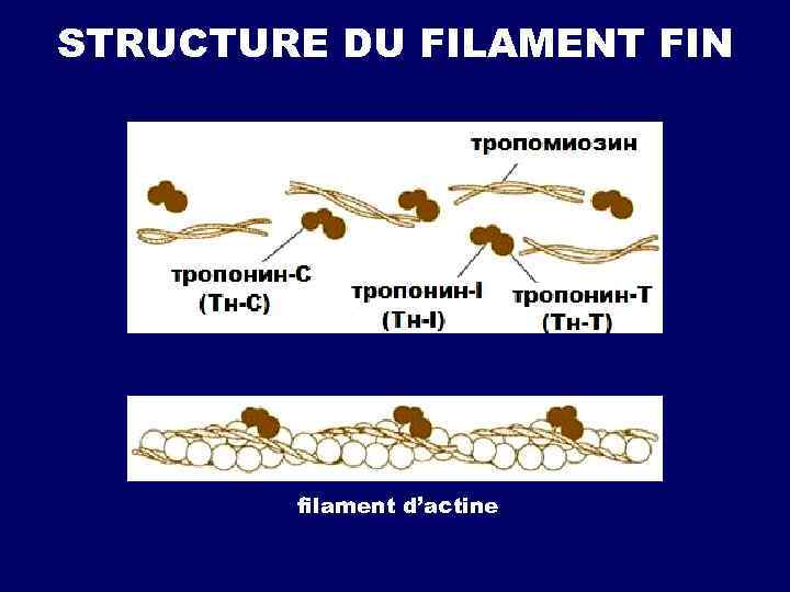 STRUCTURE DU FILAMENT FIN filament d'actine