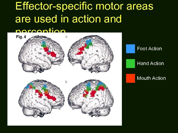 Effector-specific motor areas are used in action and perception Foot Action Hand Action Mouth