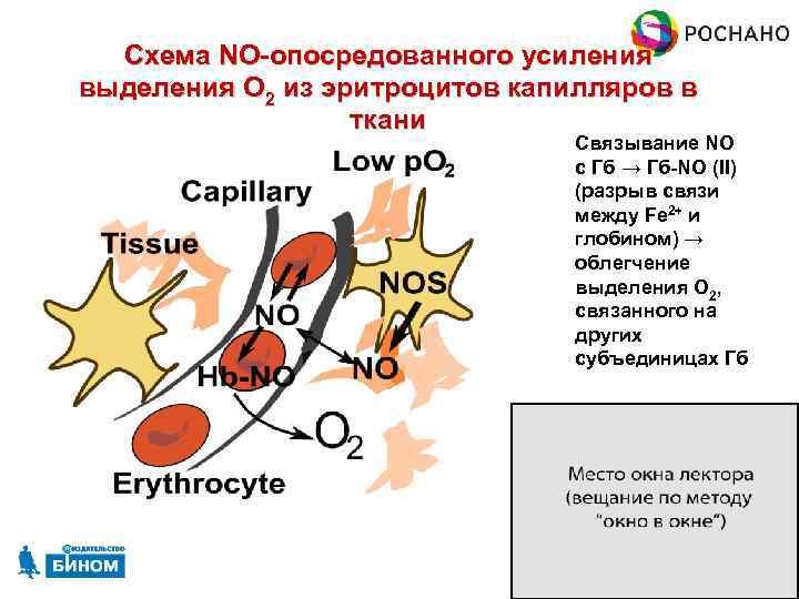 Схема NO-опосредованного усиления выделения O 2 из эритроцитов капилляров в ткани Связывание NO с
