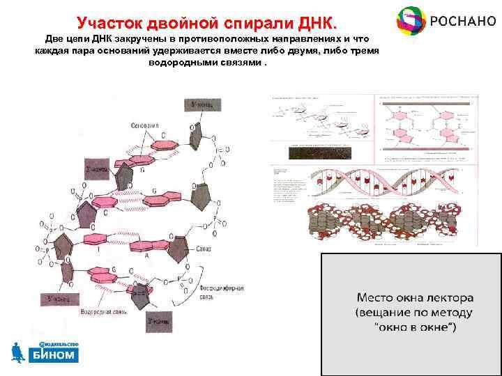 Участок двойной спирали ДНК. Две цепи ДНК закручены в противоположных направлениях и что каждая