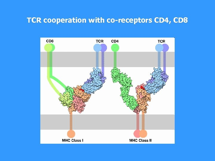 TCR cooperation with co-receptors CD 4, CD 8