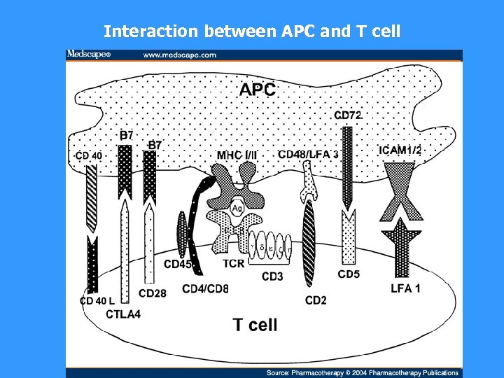 Interaction between APC and T cell
