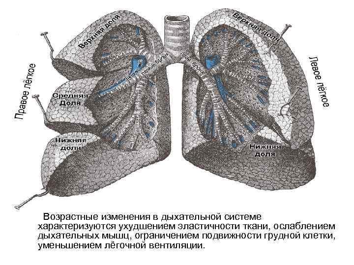 Возрастные изменения в дыхательной системе характеризуются ухудшением эластичности ткани, ослаблением дыхательных мышц, ограничением подвижности