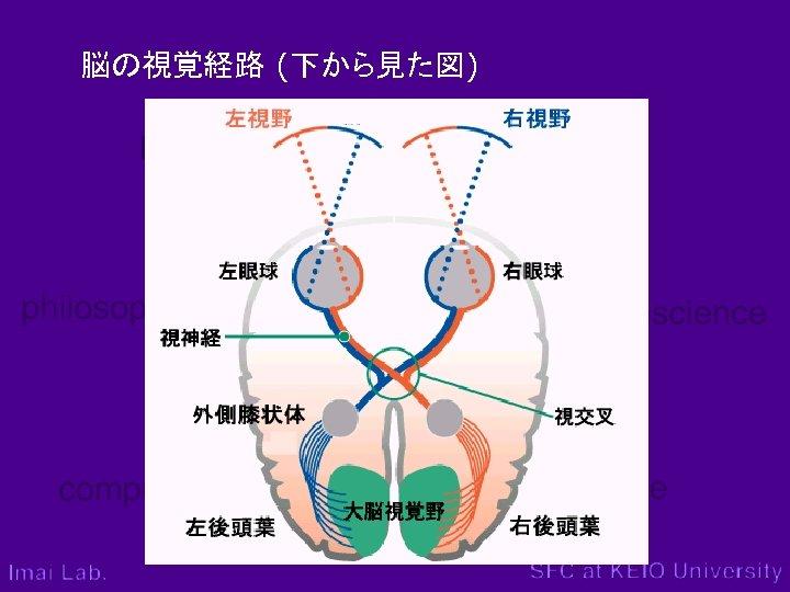 脳の視覚経路 (下から見た図)