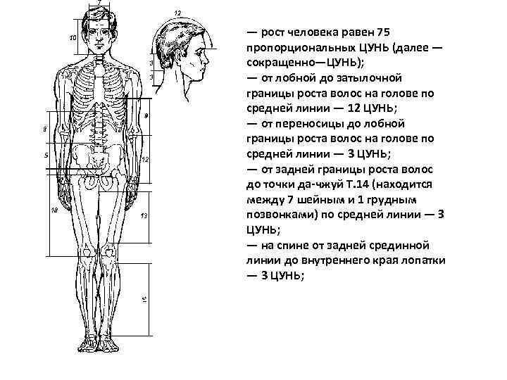 — рост человека равен 75 пропорциональных ЦУНЬ (далее — сокращенно—ЦУНЬ); — от лобной до