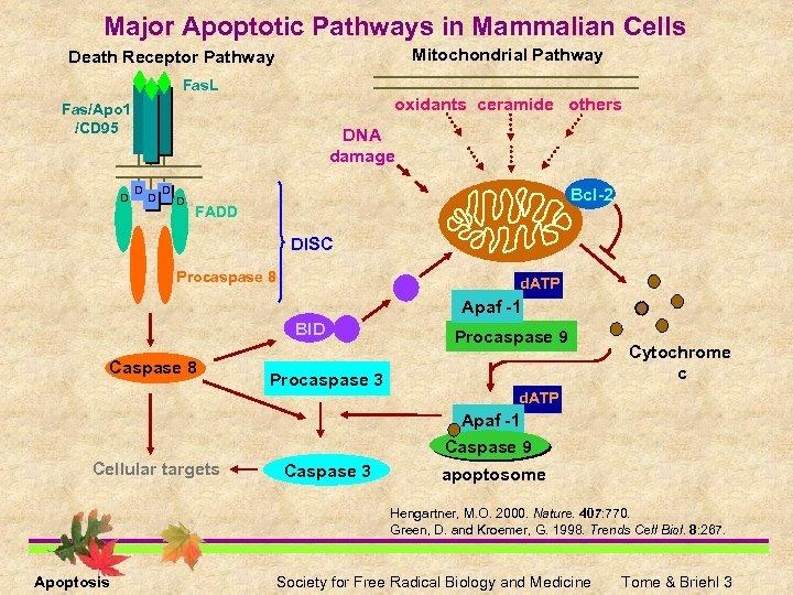 Major Apoptotic Pathways in Mammalian Cells Mitochondrial Pathway Death Receptor Pathway Fas. L oxidants