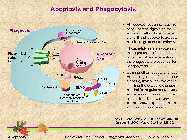 "Apoptosis and Phagocytosis Phagocyte • Phagocytes recognize ""eat-me"" or cell corpse signals on the"