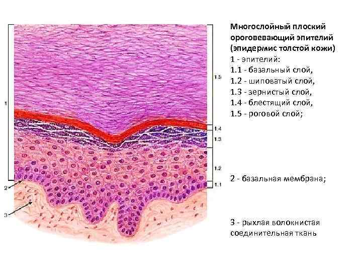 Картинки эпителии кожи