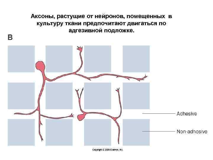 Аксоны, растущие от нейронов, помещенных в культуру ткани предпочитают двигаться по адгезивной подложке.