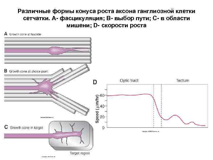Различные формы конуса роста аксона ганглиозной клетки сетчатки. А- фасцикуляция; B- выбор пути; С-