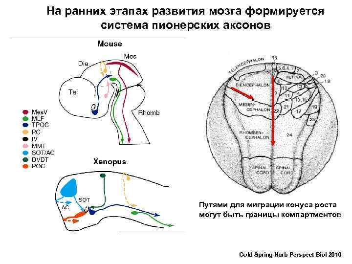 На ранних этапах развития мозга формируется система пионерских аксонов Путями для миграции конуса роста
