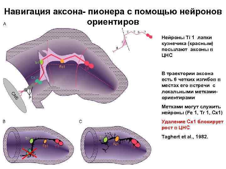Навигация аксона- пионера с помощью нейронов ориентиров Нейроны Ti 1 лапки кузнечика (красным) посылают