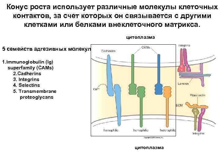 Конус роста использует различные молекулы клеточных контактов, за счет которых он связывается с другими