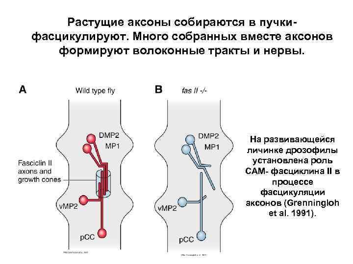 Растущие аксоны собираются в пучкифасцикулируют. Много собранных вместе аксонов формируют волоконные тракты и нервы.