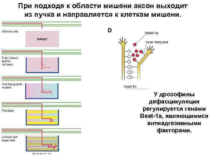 При подходе к области мишени аксон выходит из пучка и направляется к клеткам мишени.