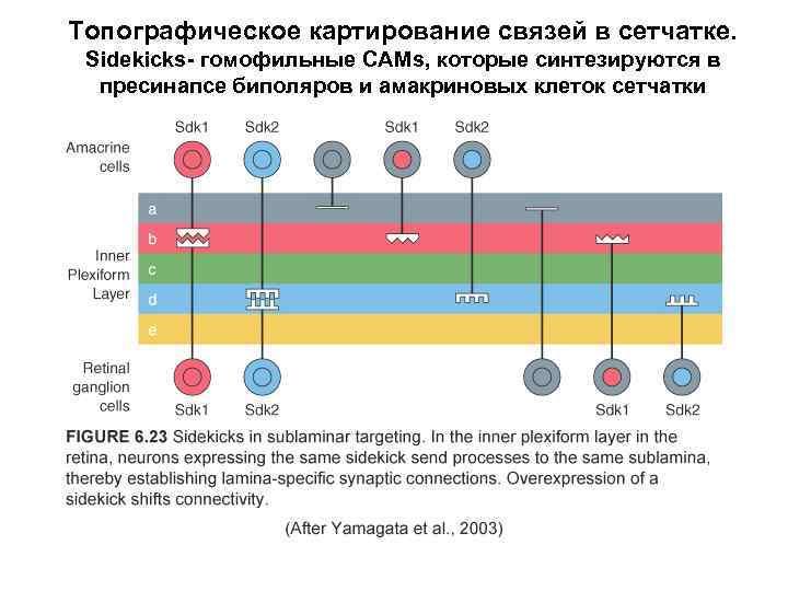 Топографическое картирование связей в сетчатке. Sidekicks- гомофильные CAMs, которые синтезируются в пресинапсе биполяров и