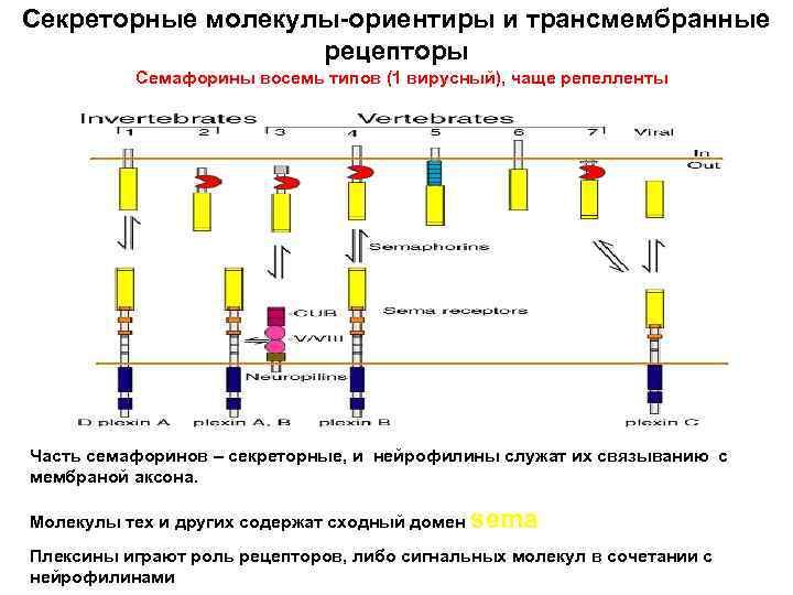Секреторные молекулы-ориентиры и трансмембранные рецепторы Семафорины восемь типов (1 вирусный), чаще репелленты Часть семафоринов