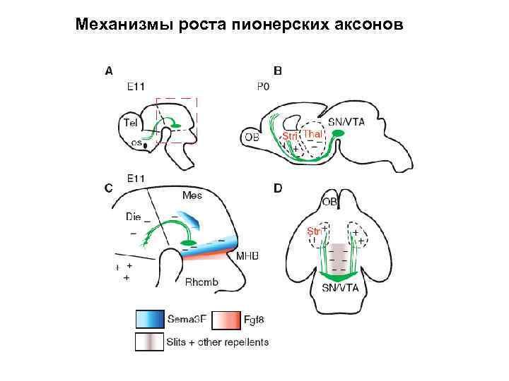 Механизмы роста пионерских аксонов
