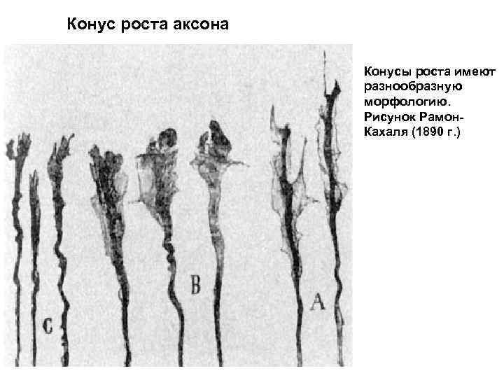 Конус роста аксона Конусы роста имеют разнообразную морфологию. Рисунок Рамон. Кахаля (1890 г. )