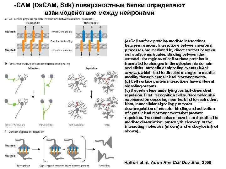 -CAM (Ds. CAM, Sdk) поверхностные белки определяют взаимодействие между нейронами (a) Cell surface proteins