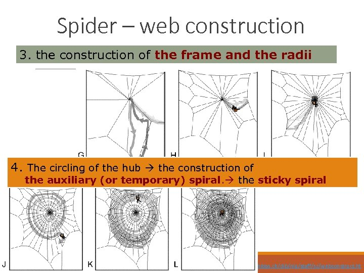 Spider – web construction 3. the construction of the frame and the radii 4.