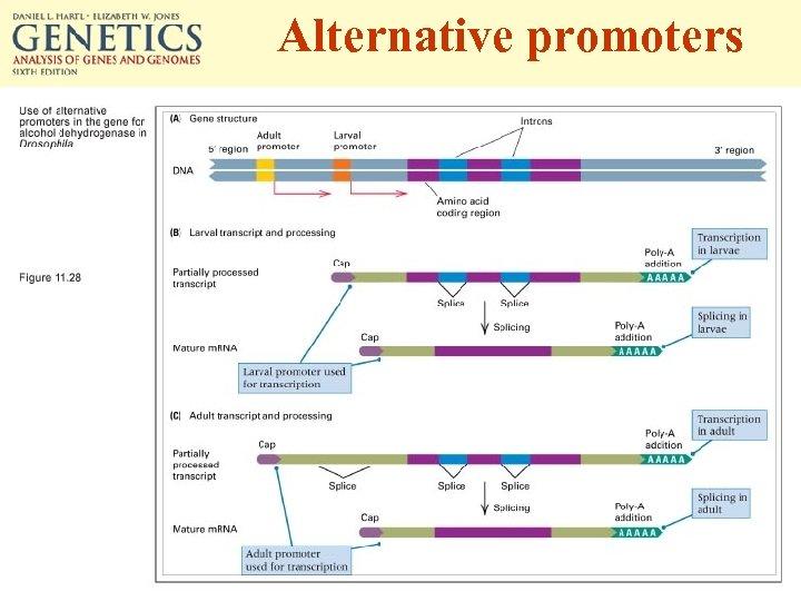 Alternative promoters