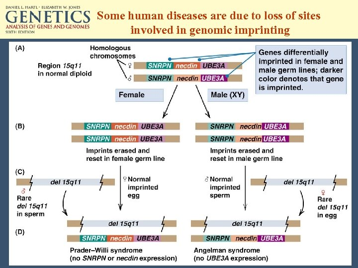 Some human diseases are due to loss of sites involved in genomic imprinting