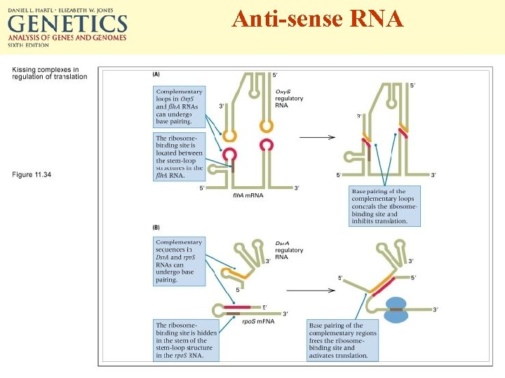 Anti-sense RNA
