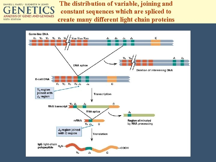 The distribution of variable, joining and constant sequences which are spliced to create many